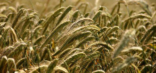 grano cereali agricoltura